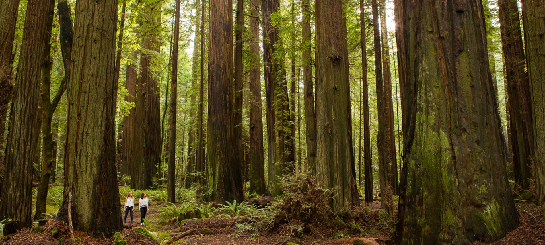 2 girl hikers in white shirts and jeans overshadowed by grove of huge redwood trees