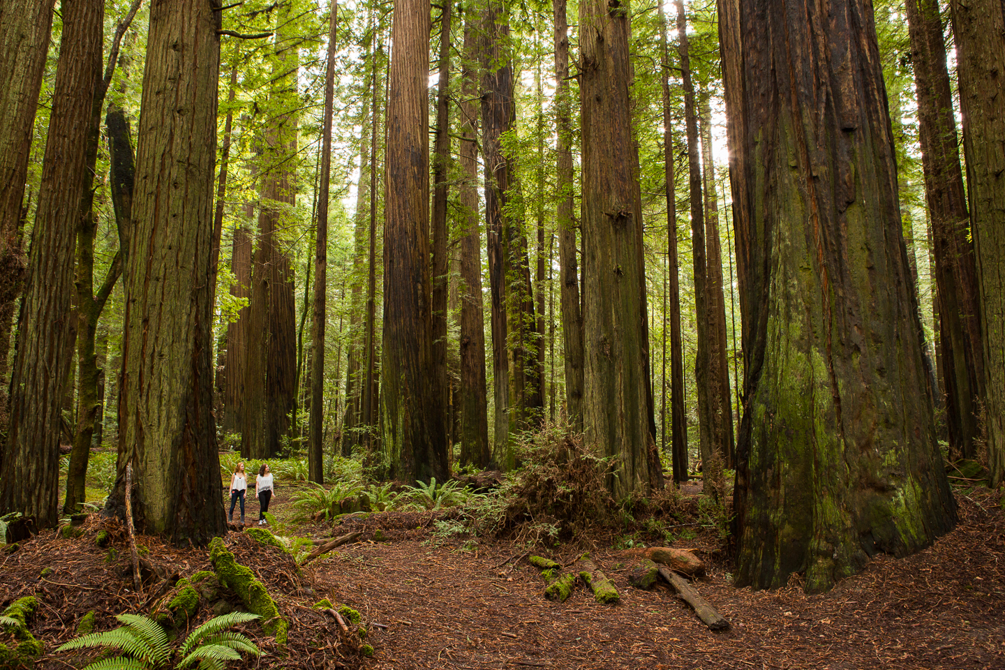2 hikers dwarfed by CA redwood forest