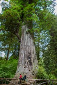 2 hikers sitting on wooden fence around redwood tree looking up at green redwood tree canopy