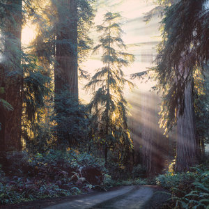 Redwood forest with dirt road curving through it and white rays of sunlight through trees