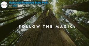 Follow the Magic: Humboldt Redwood State Park: View looking up trunks of redwoods to canopy and blue sky