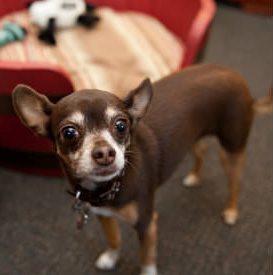 brown Chihuahua with white mask on face and white paws standing in front of red dog bed with toys inside