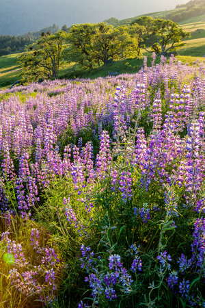 Field of blue lupine blooming in the sunshine with three green trees making shadows on the landscape behind