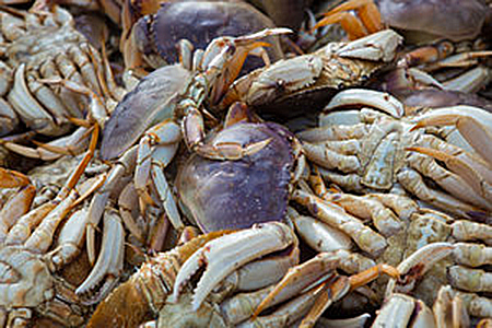 heap of freshly caught crabs with blueish shells and white claws by Todoroff