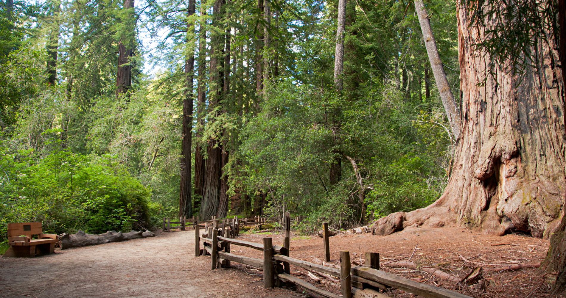 Hiking trail in Fortuna CA surrounded by lush greenery and giant redwood trees