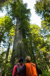 2 hikers in orange and red jackets gazing up at tall redwoods and open sky above canopy