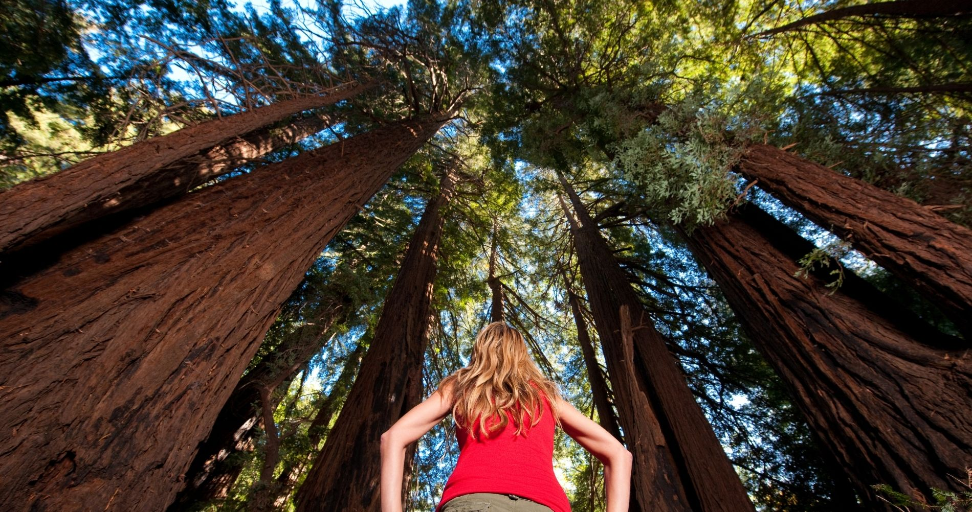 Woman hiker stopping and staring up at the giant redwood trees