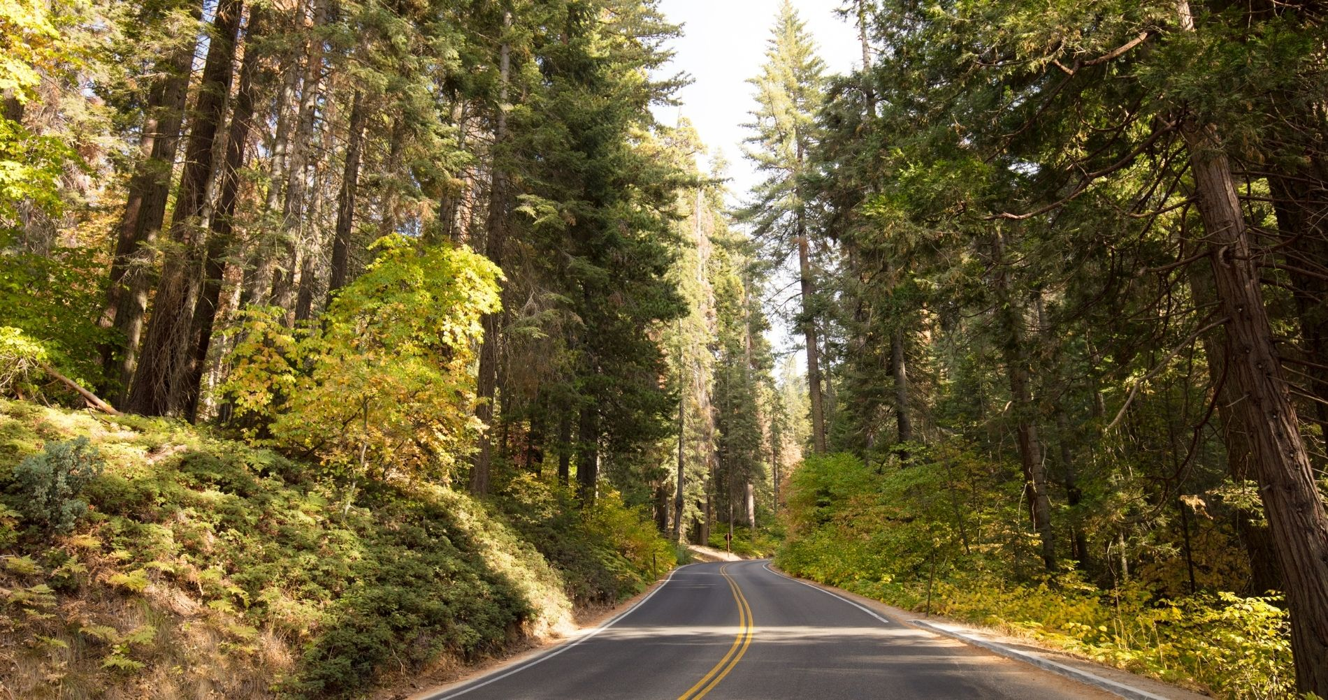 Winding road through the giant redwood forest