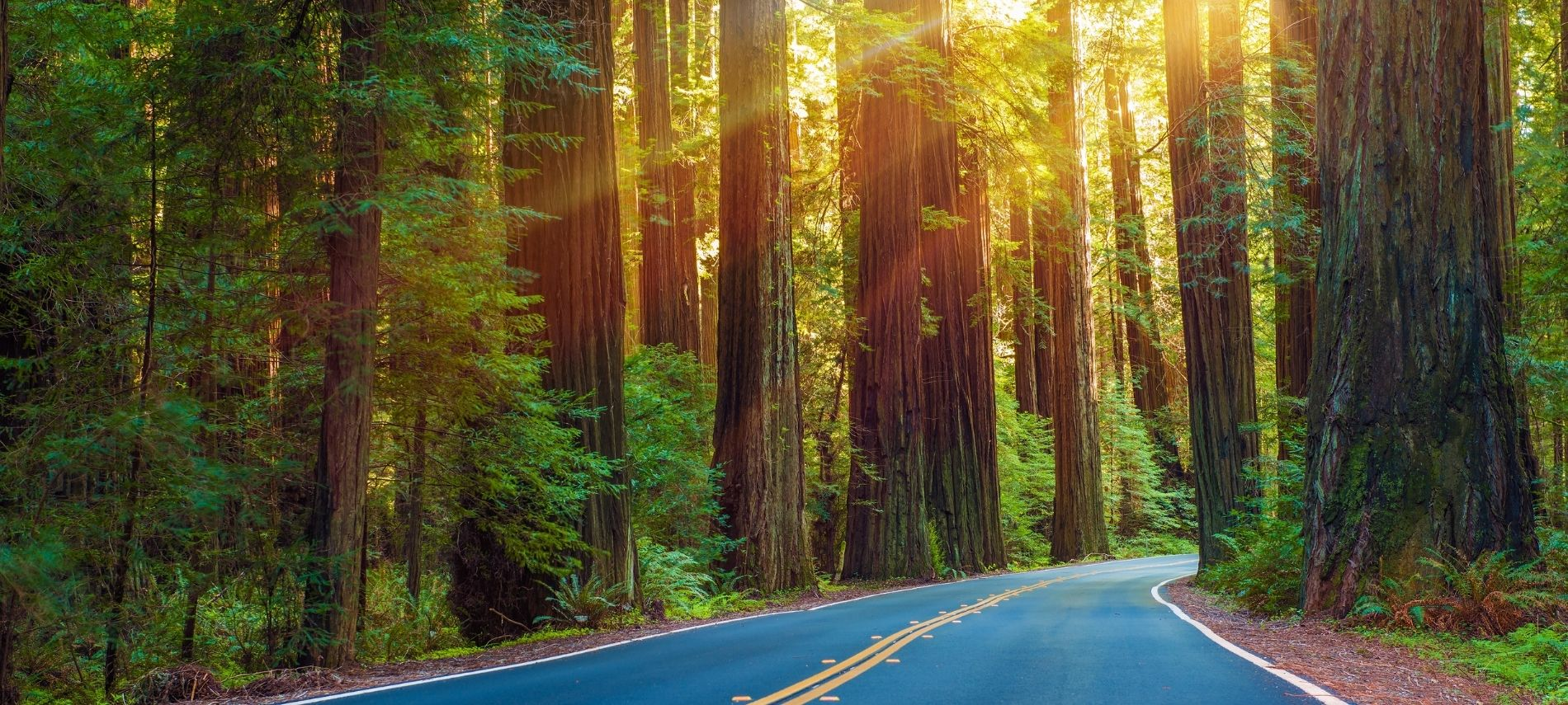 Winding road surrounded by acres of giant redwood trees with sunlight streaming in