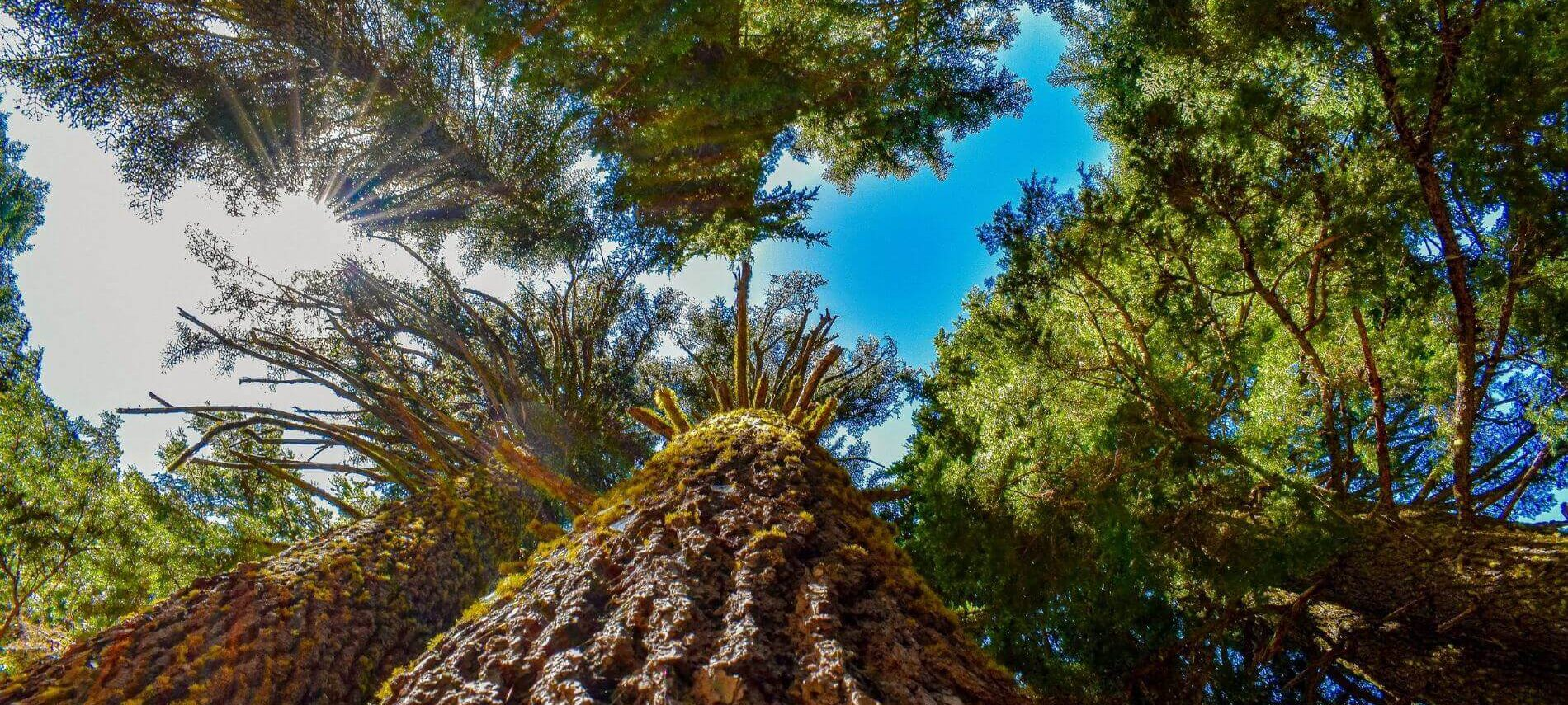 Redwood Trees soaring into the blue sky