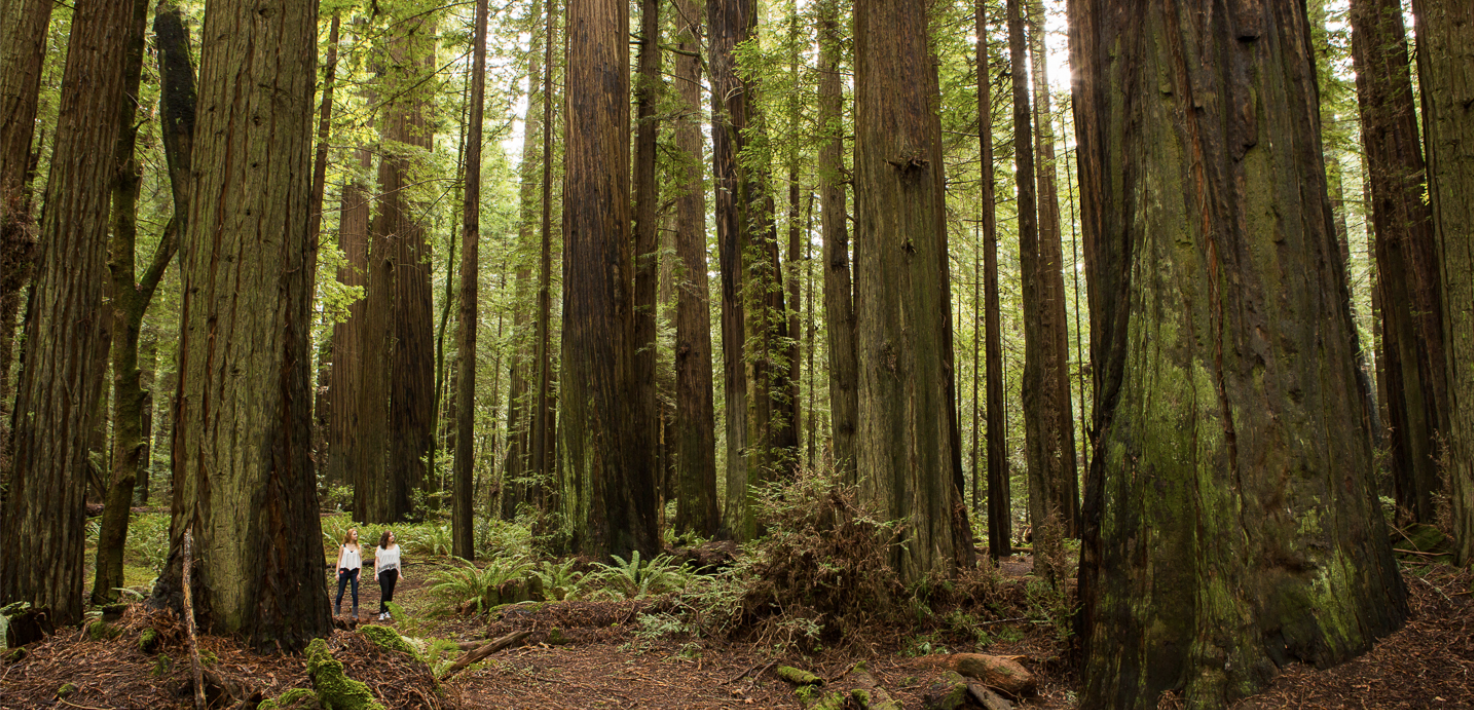 Two hikers walking through a forest of giant redwood trees