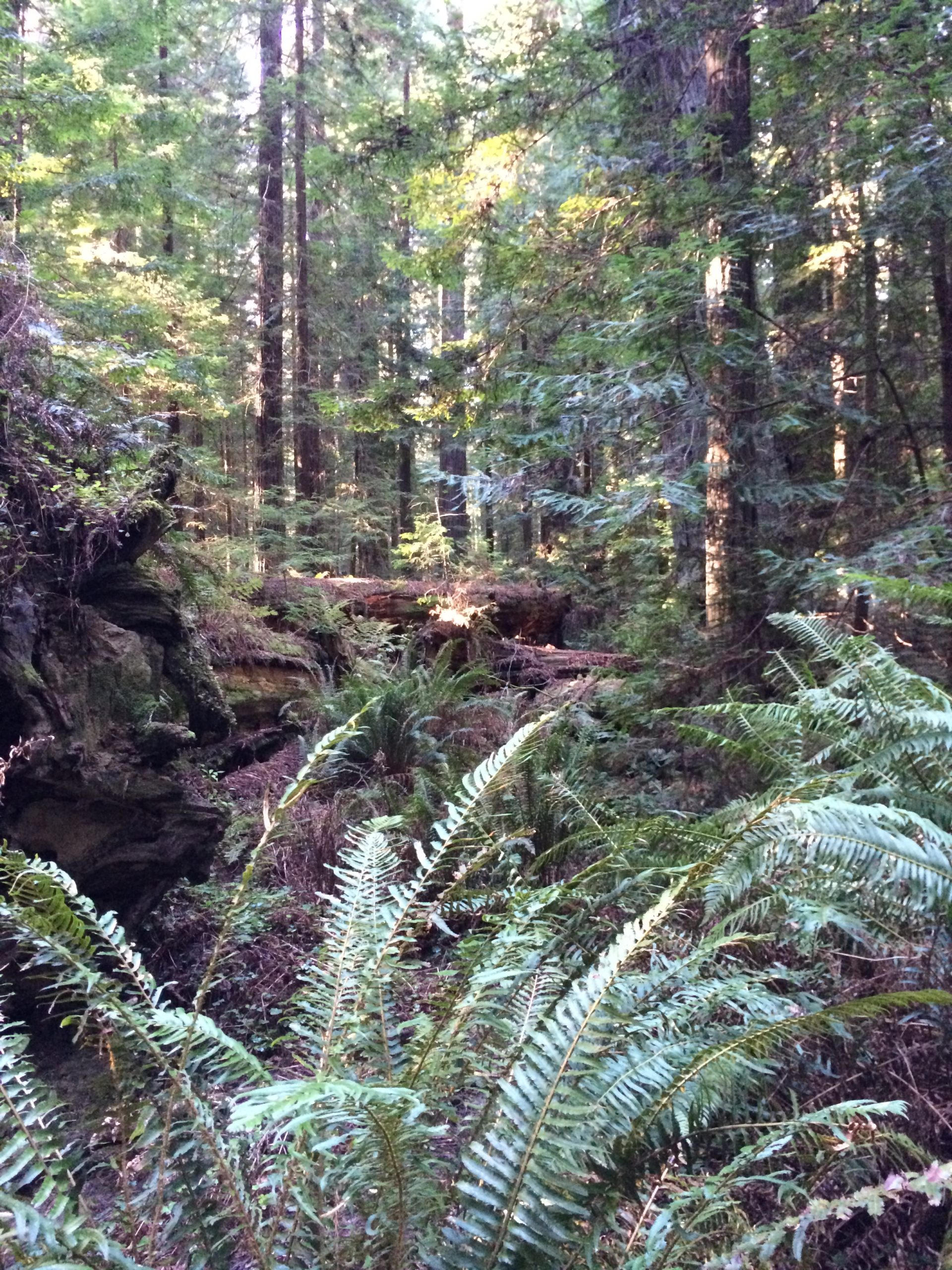 Redwoods forest with ferns and dappled sunlight