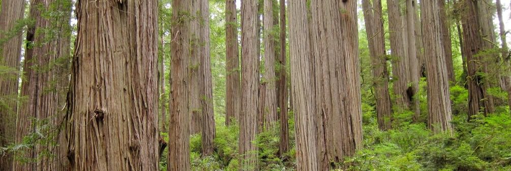 brown trunks of forest of redwood trees with green foliage interspersed