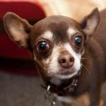 chihuahua with brown eyes and fur, white muzzle and eyebrowsand white chi